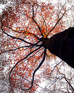 Autumn Beech Leaf Silhouette