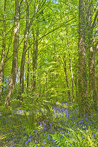 Bluebell, Fern and Spring Beech
