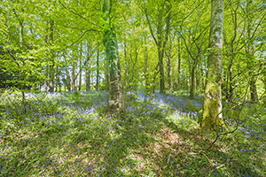 Bluebell & Beech Tree Glory