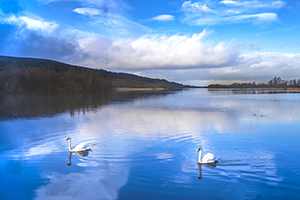 Swans on a River Suir
