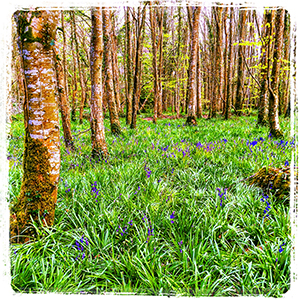 Bluebells rising amongst the Beech Trees