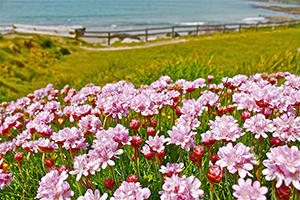 Dunworley Beach Wildflowers