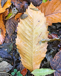 Damp Autumn Leaf Glory