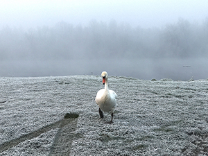Territorial Swan at River Suir