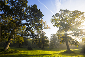 Morning Light on Curraghmore Oak