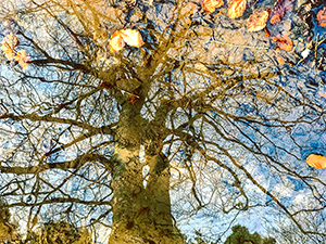 Winter Beech Reflecting