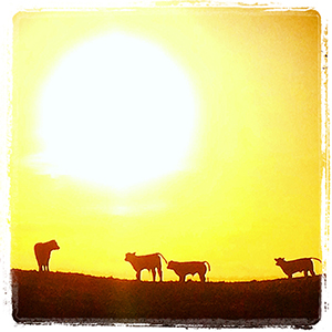 Sunrise calves