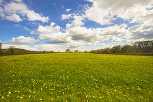 Spring dandelion field