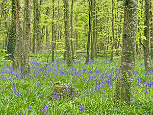 Bluebell Heaven, Jamestown Woods