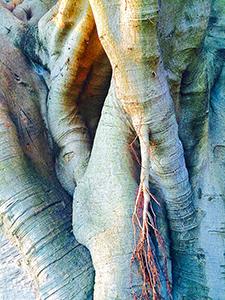 Centennial Park Eucalyptus Gum Tree