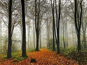 Autumn mist with Beech Trees